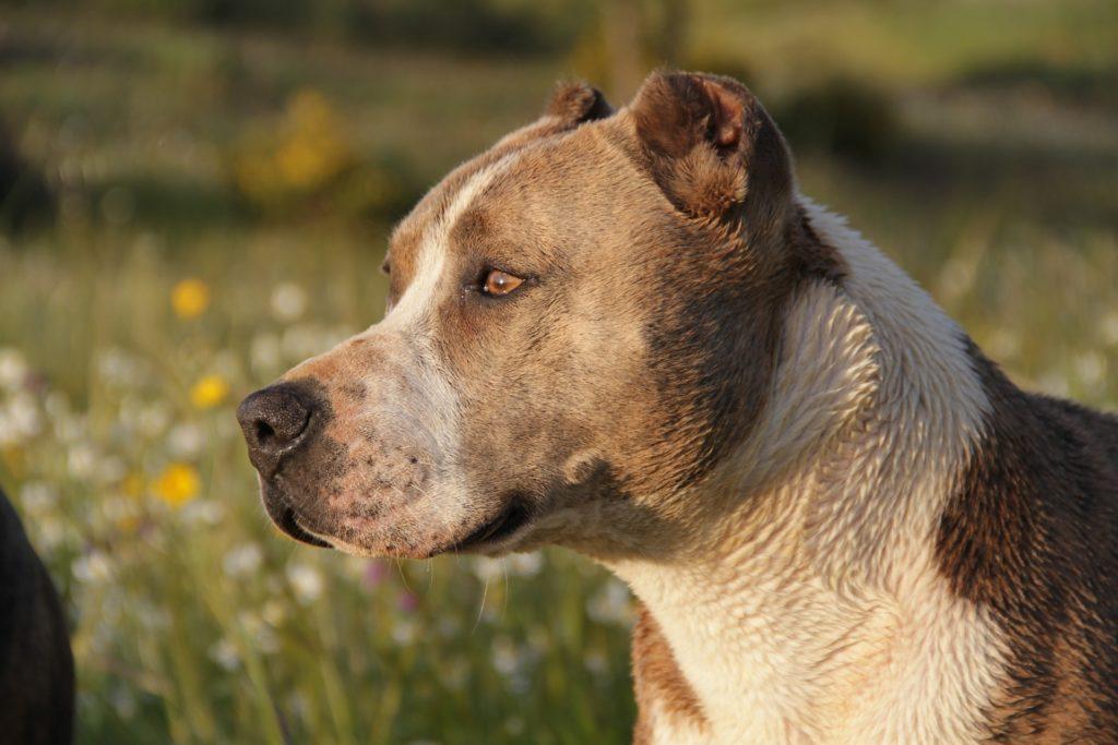 Evitar la agresividad de un perro pitbull