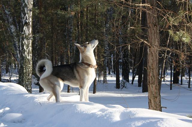 Laika de Siberia Occidental