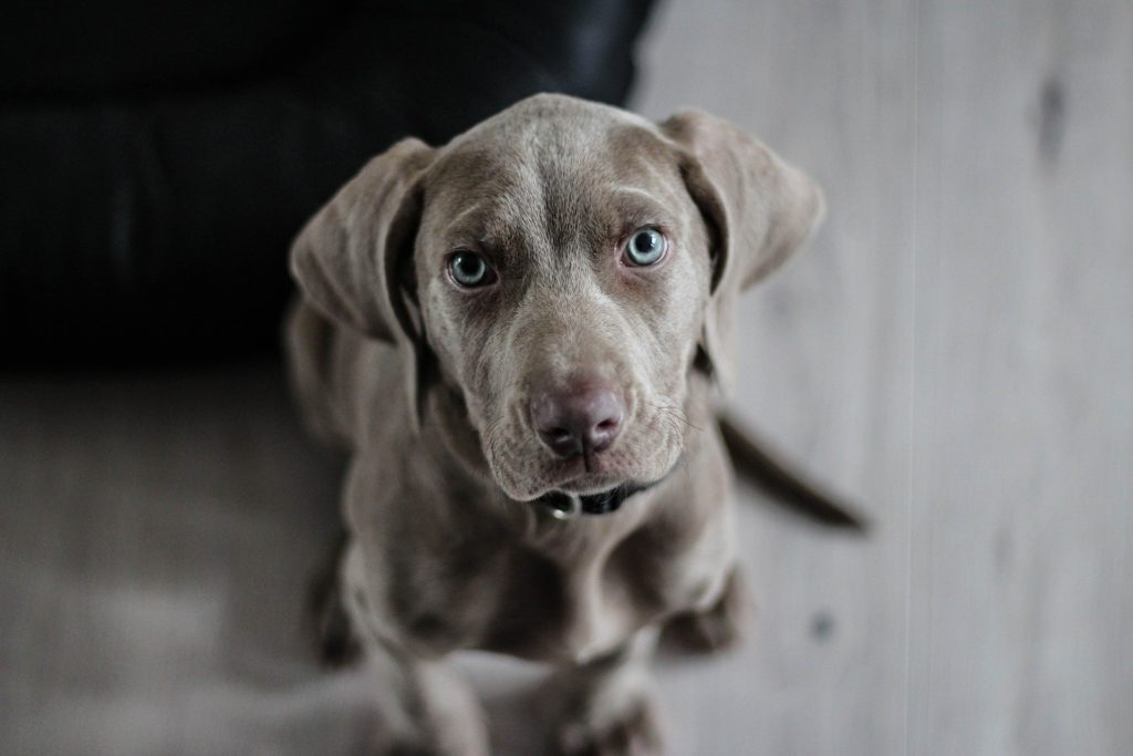 Edad para castrar un perro o cachorro