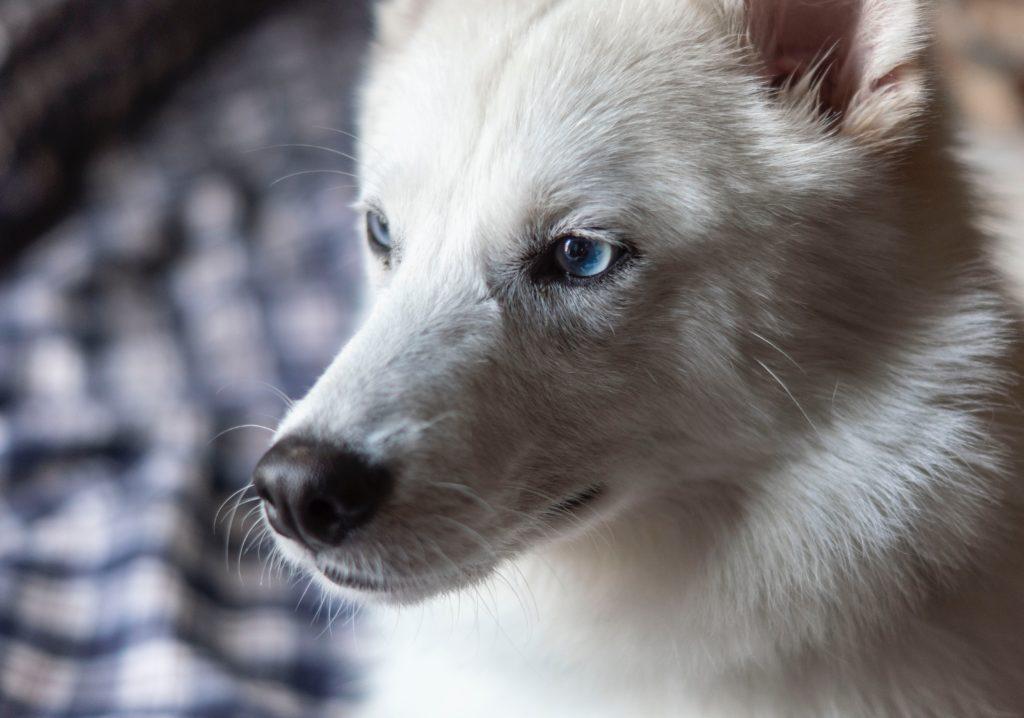 razas de perros spitz