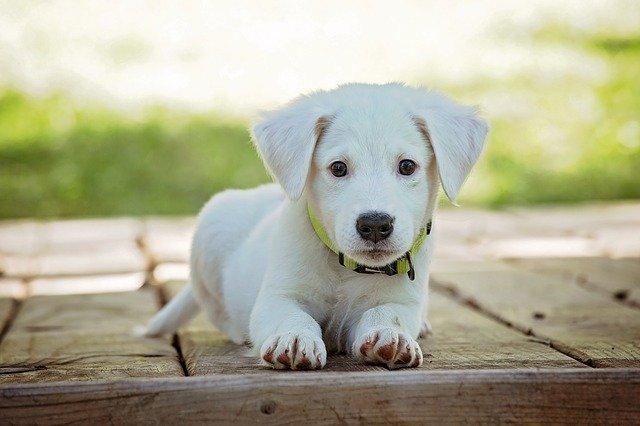 Cuántas veces debe comer un perro según la edad